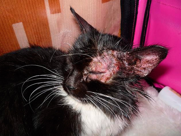 Как у кошек лечат рак